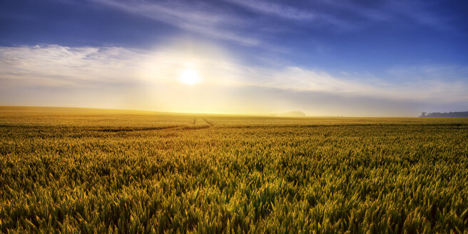United Kingdom, Scotland, East Lothian, Wheat field, Triticum sativum, against the sun - SMA000234