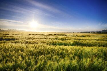 United Kingdom, Scotland, East Lothian, Barley field, Hordeum vulgare, against the morning sun - SMAF000237