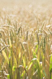 Germany, Baden-Wuerttemberg, Wheat field, Triticum aestivum - ELF001248