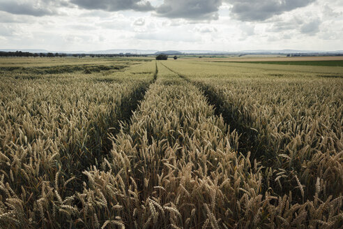 Germany, Lower Saxony, Wheatfield - EVGF000710