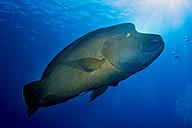 Oceania, Palau, Napoleon fish, Cheilinus undulatus - JWAF000189