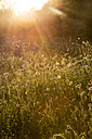 Summer meadow at evening twilight - LVF001707