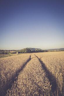 Tracks of a tractor in wheat field, Triticum sativum, at evening twilight - LVF001704