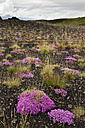 Iceland, pink blooming plants in the Southern Highland Region - FCF000360