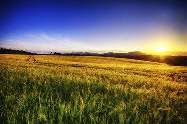 United Kingdom, Scotland, Midlothian, Barley field, Hordeum vulgare, at sunset - SMAF000239