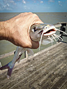 Young Gafftopsail catfish, Bagre marinus, caught on a fishing pier, Texas, USA - ABAF001445