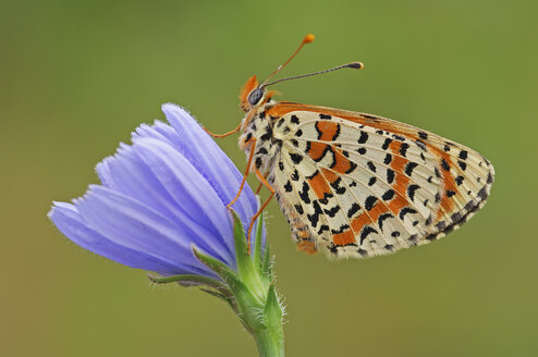 Spotted Fritillary, Melitaea didyma, on blossom in front of green background - RUEF001255