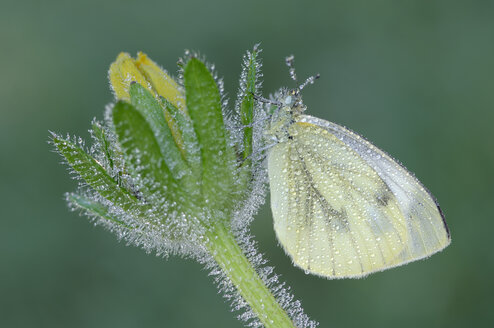 Garden white cabbage butterfly, Pieris rapae, on a bud in front of green background - RUEF001258