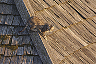 Italy, domestic cat on a wooden roof - RUEF001264
