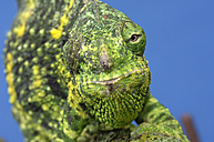 Meller's Chameleon, Chamaeleo melleri, in front of blue background - RUEF001266