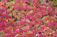 Red autumn leaves of grape ivy, Parthenocissus tricuspidata - RUEF001271