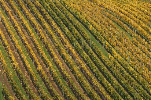 Germany, Baden-Wuerttemberg, vineyard in autumn - RUEF001272