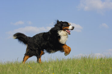 Bernese Mountain Dog running on a meadow - RUEF001293