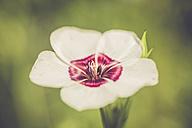 Germany, Bavaria, Carnation, Dianthus - SARF000780