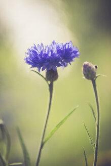 Germany, Bavaria, Cornflower, Centaurea cyanus - SARF000782