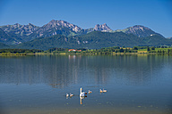 Germany, Bavaria, Allgaeu, East Allgaeu, Lake Hopfensee, near Fuessen, Mute swans, Cygnus olor, Mother animal with young animals - WG000407