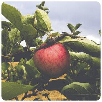 Apple on tree - SHI000036