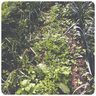 Vegetable garden - SHI000038