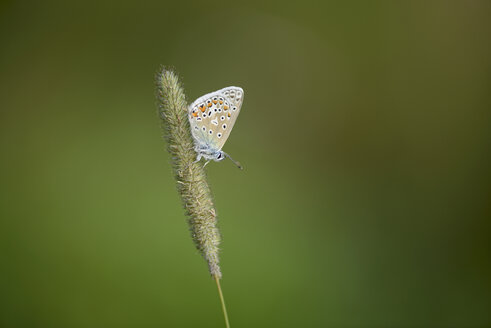 England, Common blue butterfly, Polyommatus icarus - MJOF000616