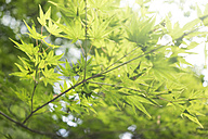 Japan, Kurama, maple leaf - FLF000472