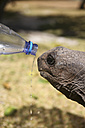 Seychelles, Curieuse Island, Giant Tortoise and water bottle, Portrait - KRPF000721