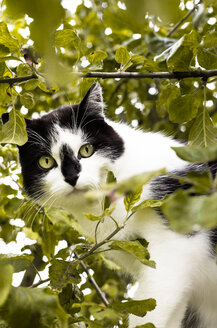 Portrait of cat sitting in a tree - FCF000432
