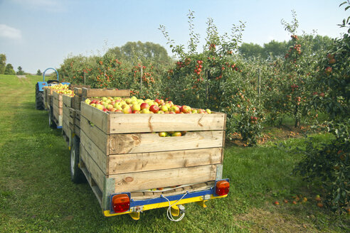 Germany, Hamburg, Altes Land, apple picking - KRPF000980