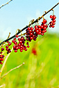 Germany, Hamburg, Altes Land, Red currants - KRPF000986