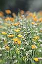 Germany, Pot marigold, Calendula - ELF001262