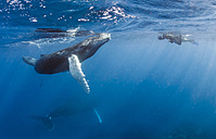 Dominican Republic, Silverbanks, Humpback whales, Megaptera novaeangliae, and divers - ZCF000136