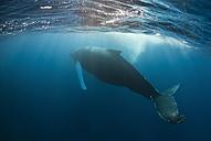 Dominican Republic, Silverbanks, Humpback whale, Megaptera novaeangliae - ZC000140