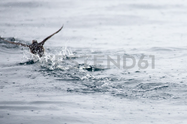 Norway, Atlantic puffin on water with raindrops - NGF000197 - Nadine Ginzel/Westend61
