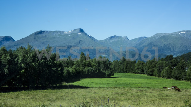 Norway, Larsnes, cows on meadow - NGF000210 - Nadine Ginzel/Westend61