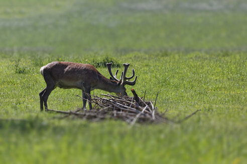 Red stag, Cervus elaphus, grazing on a meadow - GFF000534