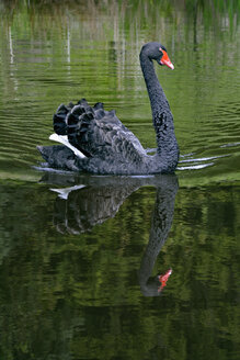 Germany, Bavaria, Black swan on a lake - AX000723