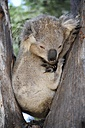 Australia, Victoria, Bairnsdale, koala bear sleeping in a tree - MIZ000539