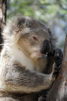 Australia, Victoria, Bairnsdale, koala bear relaxing in a tree - MIZ000540