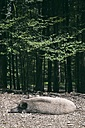 Germany, Baden-Wuerttemberg, Wild boar, Sus scrofa, resting at forest edge - ELF001287