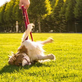 Dog, Canis lupus familiaris, rolling around on a meadow while his owner holding the lead - PUF000023