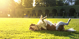 Dog, Canis lupus familiaris, rolling around on a meadow - PUF000026