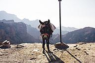 Jordan, Petra, Donkey - FLF000488