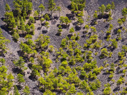 Spain, Canary Islands, La Palma, Fuencaliente, Canary Island Pines, Pinus canariensis, growing in crater San Antonio - AMF002696