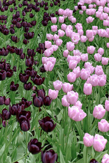 Netherlands, Holland, Keukemhof, Tulip bed, pink and dark red tulips, Tulipa - HLF000702