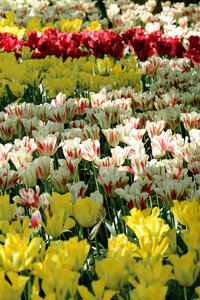 Netherlands, Holland, Keukemhof, Tulip bed, yellow red-white and red tulips, Tulipa - HLF000703