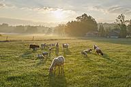 Germany, Bavaria, flock of sheep at Simssee - SIEF005832