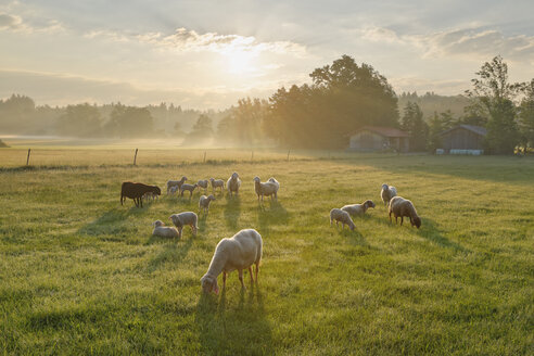 Germany, Bavaria, flock of sheep at Simssee - SIEF005832