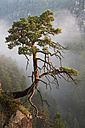 Germany, Saxony, single tree on slope at Elbe Sandstone Mountains - MSF004124
