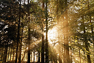 Germany, Saxony, sunlight coming through trees at Saxon Switzerland National Park - MSF004132