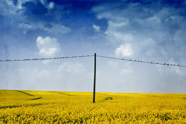 Blossoming rape field and birds sitting on a power line - DWI000153