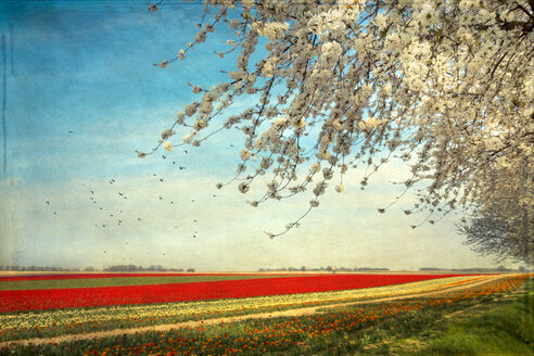 View to tulip fields with blossoming cherry tree in the foreground - DWI000167